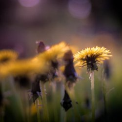 dandelion_in_focus