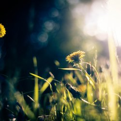 dandelion_in_sunlight
