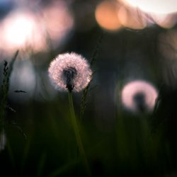 dandelion_in_sunset