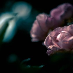 dark_pink_rose_beauty