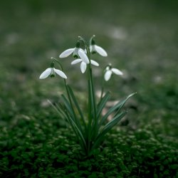lily_of_the_valley_05