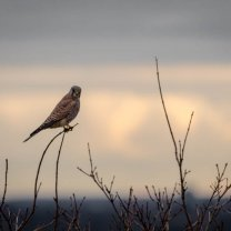 kestrel_during_sunset