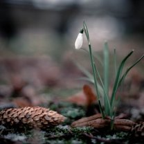 snow_drop_with_fir_cone