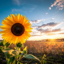 sunflower_in_sunset